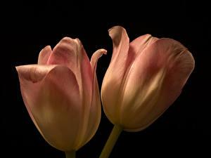 Обои Тюльпан Вблизи Черный фон Двое цветок
