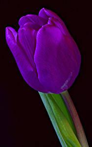 Фотографии Тюльпаны Крупным планом Черный фон Фиолетовый цветок