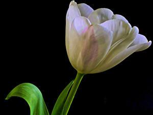 Обои для рабочего стола Тюльпаны Вблизи Черный фон Белый цветок