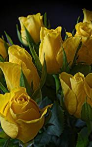 Фото Тюльпаны Вблизи На черном фоне Желтые цветок