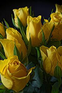 Фото Тюльпаны Вблизи Черный фон Желтый Цветы
