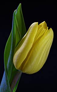 Обои Тюльпан Вблизи Черный фон Желтый цветок