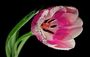 Фотографии Тюльпан Вблизи Капля Розовая На черном фоне цветок