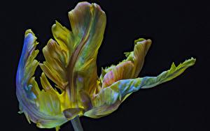 Обои Тюльпаны Вблизи Черный фон Parrot Tulip Цветы