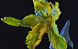 Фотография Тюльпаны Вблизи На черном фоне Parrot Tulip цветок