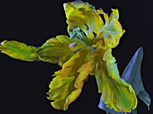 Обои для рабочего стола Тюльпаны Вблизи На черном фоне Parrot Tulip цветок