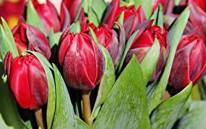 Фотография Тюльпаны Вблизи Красная Бордовый Цветы