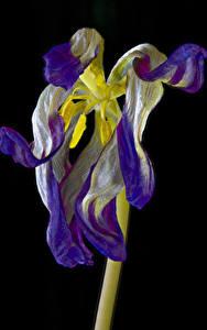 Обои Тюльпаны Крупным планом На черном фоне Withered tulip Цветы