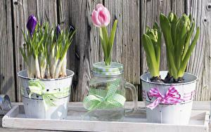 Фотографии Тюльпан Крокусы Доски Ведре Бантики Банке цветок