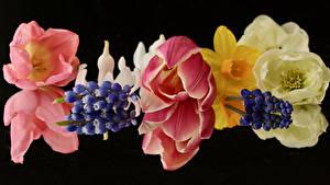 Фотография Тюльпан Гиацинты Крупным планом Черный фон цветок