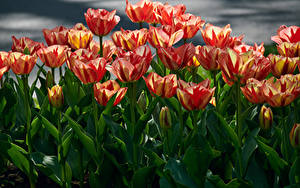 Фотография Тюльпаны Много Крупным планом Цветы