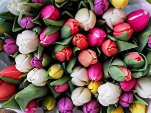 Фотография Тюльпаны Много Крупным планом Разноцветные Цветы