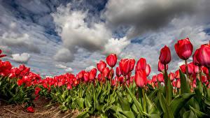 Обои Тюльпан Много Поля Облачно Цветы