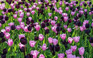Фото Тюльпаны Много Розовая Бордовый цветок