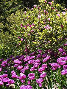 Фотографии Тюльпаны Розовых Кусты Цветы