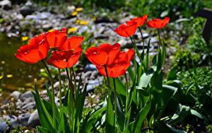 Обои Тюльпаны Красная цветок