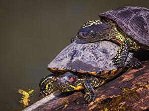 Фото Черепахи Крупным планом Два животное