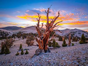 Картинка Америка Горы Дерева Калифорнии Ancient Bristlecone Pine Forest Природа