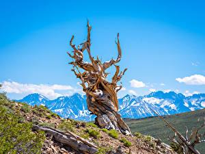 Фотографии США Гора Калифорнии Деревья Bristlecone Pine Forest