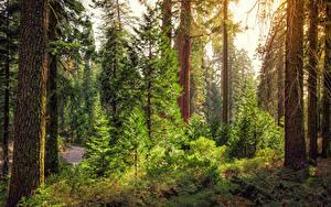 Обои Штаты Парки Леса Калифорния Деревья Ель Kings Canyon National Park Природа