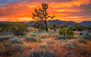 Обои США Парк Деревья Калифорнии Joshua Tree National Park