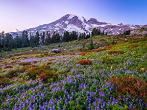 Фото Штаты Парки Гора Люпин Вашингтон Дерево Mount Rainier National Park