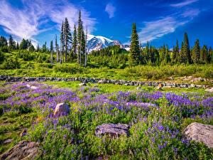 Фото Штаты Парк Горы Люпин Камни Вашингтон Деревья Mount Rainier National Park