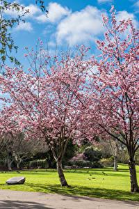 Обои для рабочего стола Америка Парки Весенние Цветущие деревья Калифорнии Газон Huntington Beach Park Природа