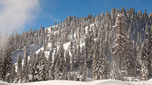 Обои США Парк Зима Гора Калифорния Дерево Снег Ели Lassen Volcanic National Park Природа