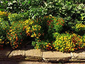 Картинка Великобритания Сады Бархатцы Много Лондоне Кусты Kew Gardens Природа