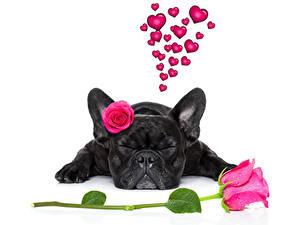 Фото День святого Валентина Собаки Розы Бульдог Черных Спят Сердце животное