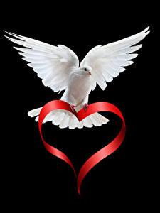 Картинки День святого Валентина Голуби На черном фоне Белый Серце Животные