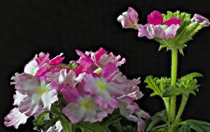 Картинки Вербена Вблизи Черный фон Цветы