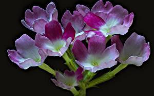 Картинка Вербена Вблизи Черный фон цветок