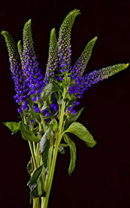 Фото Черный фон Ветка Фиолетовые Veronica Цветы