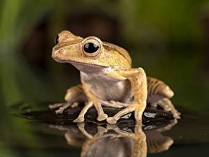 Фотографии Воде Глаза Лягушка Отражении Borneo Eared Frog животное
