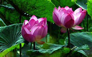 Обои Водяные лилии Вблизи Двое Розовых Цветы