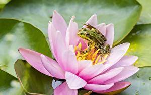 Фотография Кувшинки Лягушка Розовые Животные