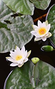 Фотографии Водяные лилии Двое Белый Цветы