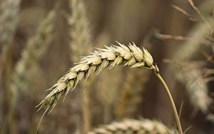 Картинка Пшеница Крупным планом Боке Колос Природа