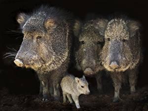 Фотография Кабан Детеныши Четыре 4 Животные