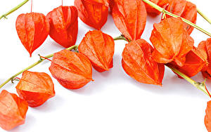 Обои Белым фоном На ветке Оранжевая Winter Cherry, Physalis alkekengi Природа