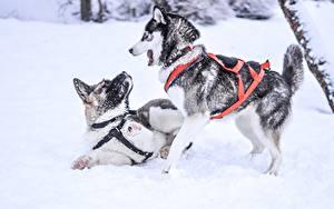 Обои Зимние Собаки Снегу 2 Хаски Играют Животные