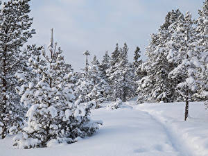 Картинка Зима Леса Снега Ель Дерево Тропы Природа