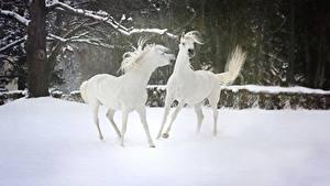 Картинки Зимние Лошади Снег 2 Белый Животные