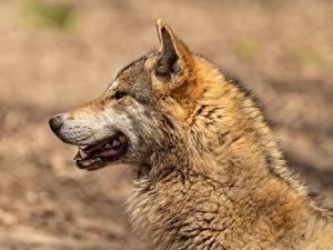 Обои Волки Голова Сбоку Размытый фон Животные