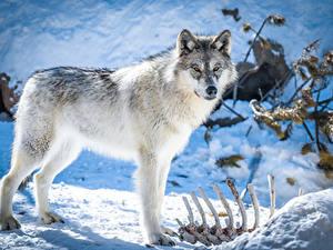 Фотографии Волк Снег Кость Взгляд Животные