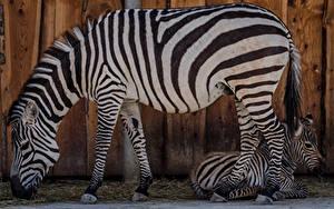 Фотографии Зебры Детеныши 2 Сбоку Животные