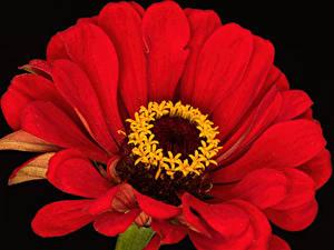 Обои для рабочего стола Циннии Крупным планом Черный фон Красный Цветы