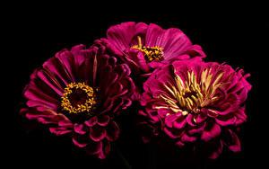 Фото Циннии Крупным планом Черный фон Втроем Темно красный Цветы